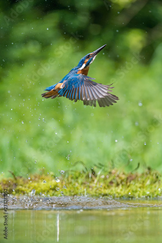Fotobehang Fontaine The diving Common Kingfisher, alcedo atthis is flying with his prey in green background. The kingfisher just caught his prey. Colorful backgound. Amazing moment. Flying bird gem of our rivers.
