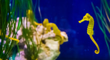Common Yellow Estuary Sea Horse In Macro Closeup With Seahorse Family In The Background Marine Life Fish Portrait