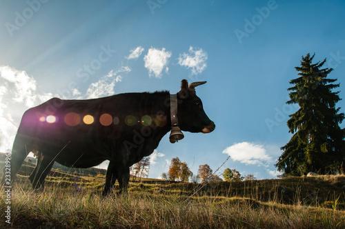 Poster de jardin Vache Vache noire d'Hérens avec sonnette dans la lumière du soleil