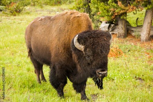 Poster Bison Fauna of Yellostone: Bison