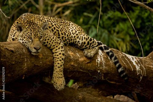 Brazilian Pantanal: The Jaguar Fototapet