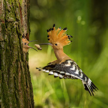 The Hoopoe Is Feeding Its Chick. Still Is Flying And Putting Some Insect In Its Beak. Typical Forest Environment With Green Background