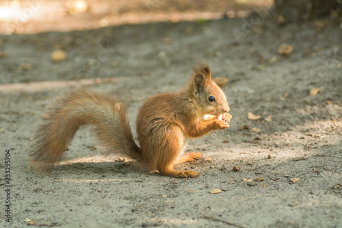 Staande foto Eekhoorn Beautiful red squirrel is eating nuts in the park