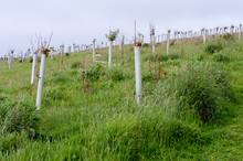 Plastic Tree Guards On Young Saplings In A Field On The Cornish Coast, Roseland Peninsula, Cornwall, UK
