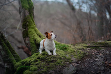 Dog In The Moss Forest. Jack Russell Terrier On A Walk. Active Pet On Nature