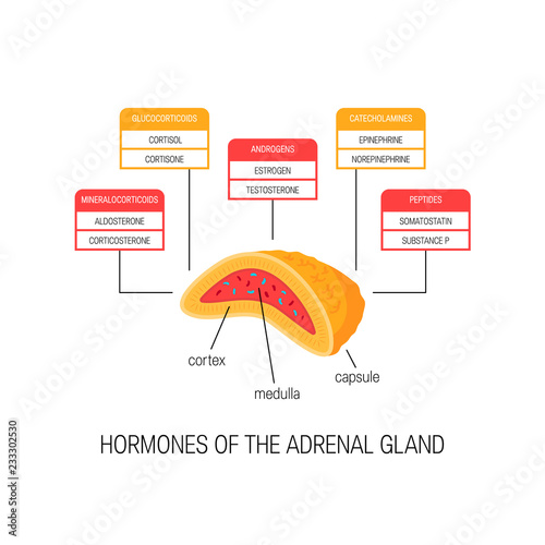 Photo Hormones of the adrenal gland, vector diagram