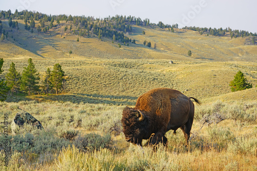 Fototapeta View of a single lonely bison in the grass in Yellowstone National Park, Wyoming