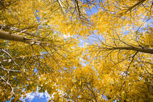 Looking Up In A Grove Of Aspen Trees In The Eastern Sierras, In A Sunny Fall Day; California