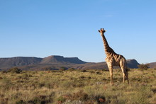 Lone Giraffe Standing On Grasslands In The Central Karoo Of South Africa.