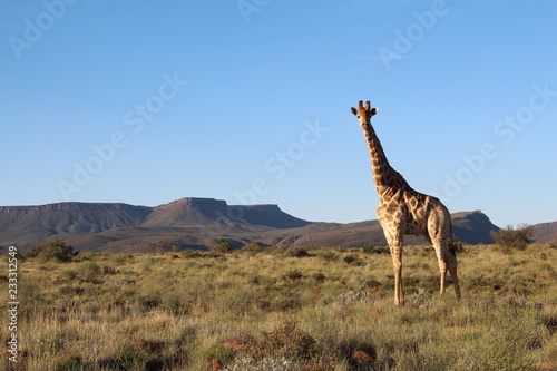 Lone giraffe standing on grasslands in the central Karoo of South Africa Canvas Print