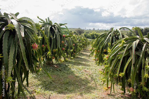 Staande foto Tuin Field of dragon-fruit plantation in Thailand, This is favorite fruit in Asia