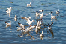 A Flock Of Seagulls Finding Food From The Sea Water At Bang Pu Recreational Center, Thailand