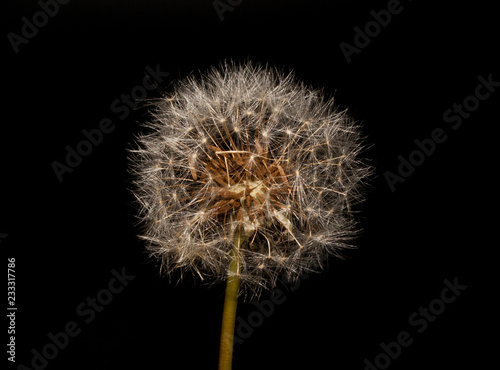 Staande foto Paardebloem dandelion isolated on black background
