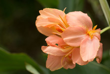 Orange Colour Of Canna Flowers