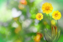 Beautiful Live Coreopsis With Empty On Left On Tree Leaves Blurred Bokeh Background. Floral Spring Or Summer Flowers Concept.