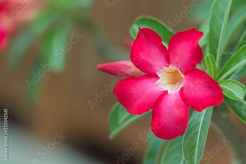 Desert rose or red Bignonia, Adenium flower