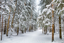 Beautiful Winter Forest In Sunny Weather.