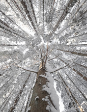 Looking Up On Trees In Winter