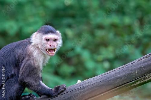 Fotografia, Obraz  Monkey in the wild, a portrait