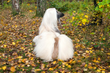 Dog Breed Dog Afghan Hound Lies On Autumn Leaves And Looking Back
