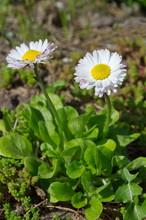 White Daisies (lat. Bellis Perennis) In Bloom