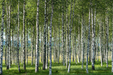 Grove Of Birch Trees With Beau...