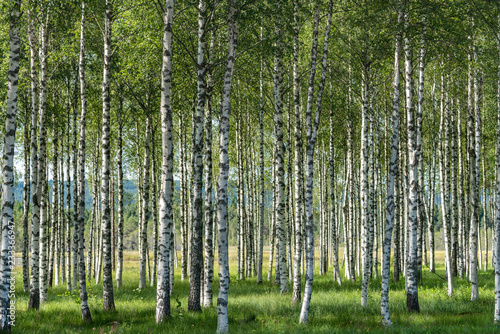 Grove of birch trees with beautiful sunlight and a green grass forest floor
