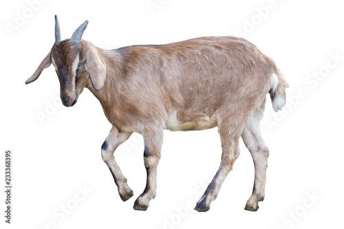 Stampa su Tela brown goat on white