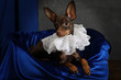 Portrait of a toy terrier puppy dressed in a frill