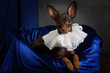 Portrait of a toy terrier puppy dressed in a jabot