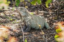 Ricord's Iguana Or Cyclura Ricordi, Dominican Republic