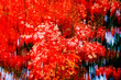 Germany, Maple tree in autumn, abstract