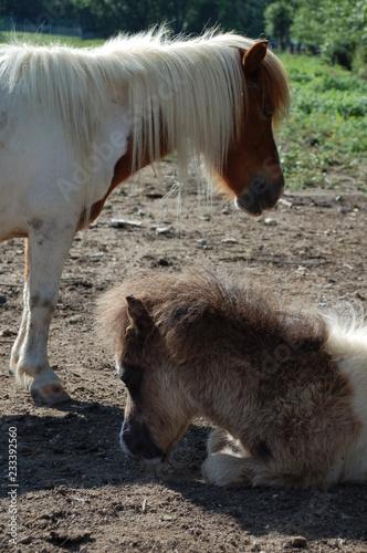 Fotografie, Obraz  Pony und Fohlen dösend in der Sonne