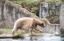 Big White Bear. Polar Bear Goe...