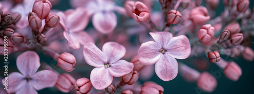 Foto op Plexiglas Lilac panorama lilac blossoms on branches