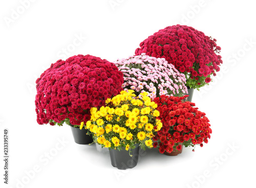 Fotografie, Obraz Beautiful chrysanthemum flowers in pots on white background