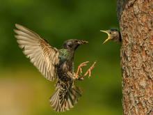 The Common Starling, Sturnus V...
