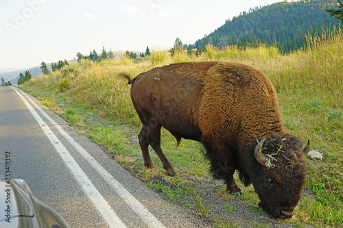 Fotobehang Natuur Park View of a herd of wild bison crossing the road in front of cars in Yellowstone National Park, Wyoming, United States