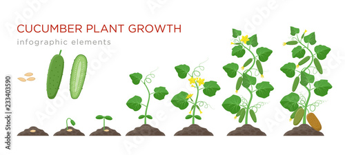 Cucumber plant growth stages infographic elements in flat