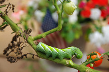Hornworm Eating Garden Tomato ...