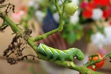 Hornworm Eating Garden Tomato Plants