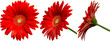 Leinwandbild Motiv rote Gerbera Blüte Seitenansichten, freigestellt