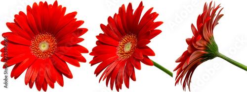 Fotobehang Gerbera rote Gerbera Blüte Seitenansichten, freigestellt