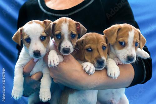 Jack Russell puppies on hand Fototapet