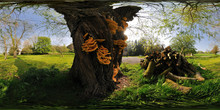 Witches Butter On A Willow Tree, Up Cerne, England, United Kingdom