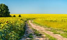 Dirt Road In A Sunflower Field...