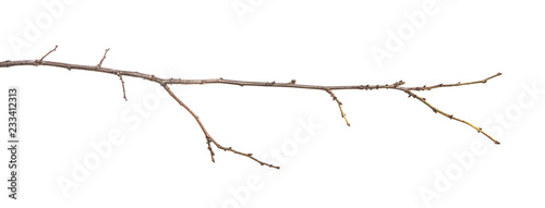 Fotografia, Obraz dry tree branch with buds. on a white background