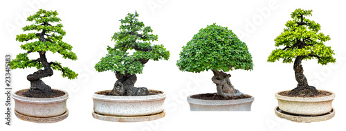 Bonsai trees isolated on white background. Its shrub is grown in a pot or ornamental tree in the garden.
