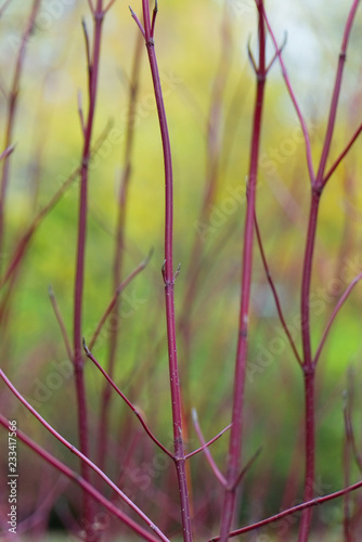Foto  Red bush branches