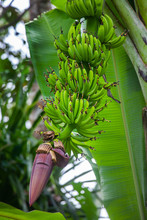 Wild Growing Bananas In Costa Rica At The Caribbean